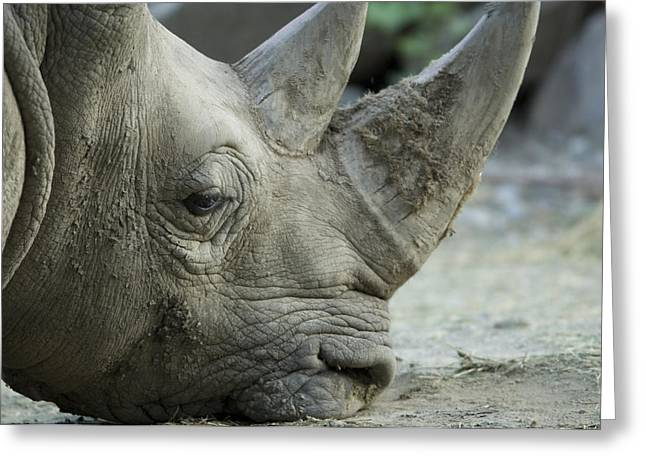 One Horned Rhino Greeting Cards - A White Rhino Sniffs The Muddy Ground Greeting Card by Joel Sartore