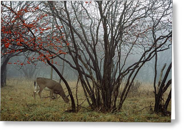 Sod Greeting Cards - A White-tailed Deer Forages Greeting Card by Raymond Gehman