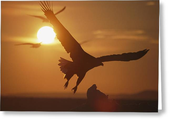 Rare Sunset Greeting Cards - A White-tailed Eagle In Flight Greeting Card by Tim Laman