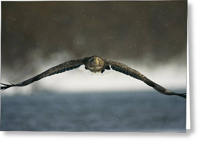 Animals In Action Greeting Cards - A White-tailed Sea Eagle In Flight Greeting Card by Klaus Nigge