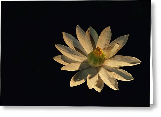 Chromatic Greeting Cards - A White Water Lily Opened To The Light Greeting Card by Michael Nichols