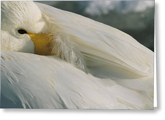 Alert Bay Greeting Cards - A Whooper Swan, Cygnus Cygnus, Keeps An Greeting Card by Tim Laman