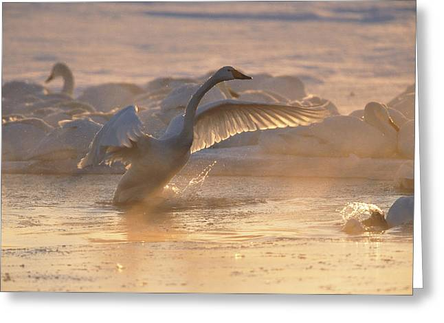 A Whooper Swan Flaps Its Wings Greeting Card by Tim Laman