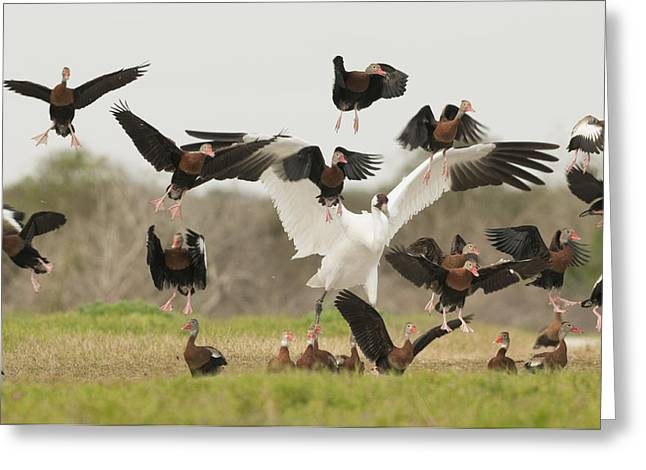 Flying Animal Greeting Cards - A Whooping Crane Scatters Black-bellied Greeting Card by Klaus Nigge