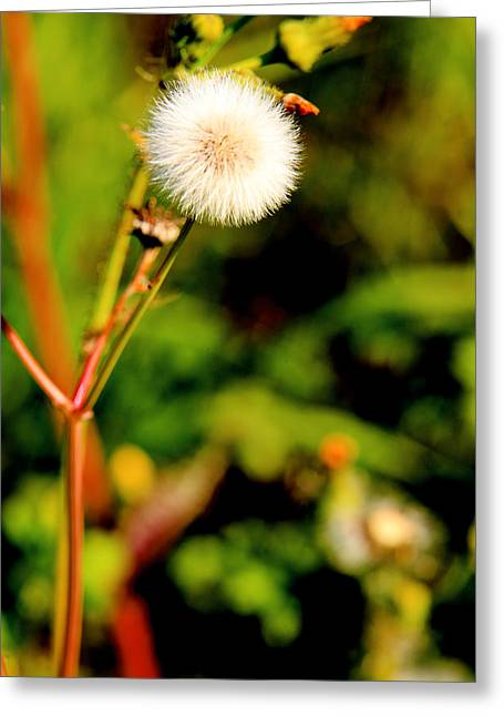 Balls Framed Prints Greeting Cards - A wild Dandelion puff ball Greeting Card by M K  Miller