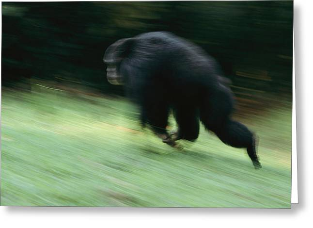 Panned Views Greeting Cards - A Wild Male Chimpanzee Gives Greeting Card by Michael Nichols