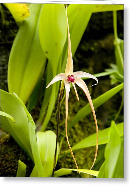Wild Orchid Greeting Cards - A Wild Orchid Bulbophyllum Echinolabium Greeting Card by Tim Laman