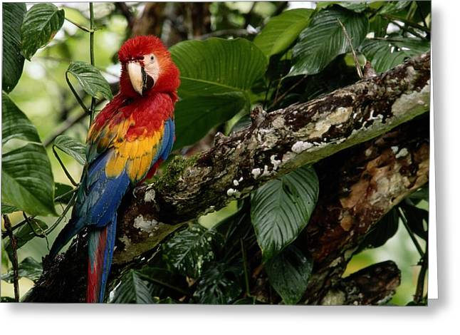 Costa Greeting Cards - A Wild Scarlet Macaw Ara Macao Perched Greeting Card by Tim Laman