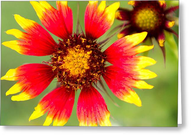 Hill Country Greeting Cards - A wildflower of Texas - Firewheel Greeting Card by Ellie Teramoto