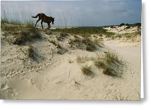 Animal Tracks Greeting Cards - A Windblown Wild Horse Traverses Greeting Card by Melissa Farlow