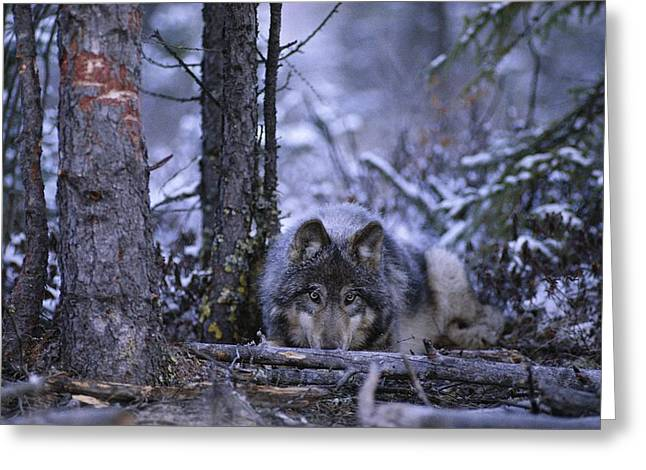 Northwest Territories Greeting Cards - A Wolf Canis Lupus Crouches Greeting Card by Paul Nicklen