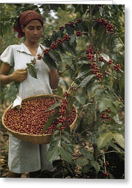 El Salvador Greeting Cards - A Woman Picks Ripe Red Coffee Berries Greeting Card by Luis Marden