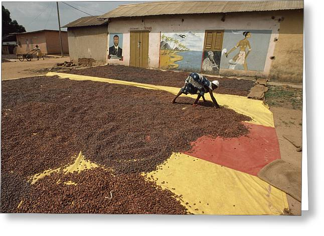 The Bean Greeting Cards - A Woman Spreads Brown Cacao Beans Greeting Card by James L. Stanfield