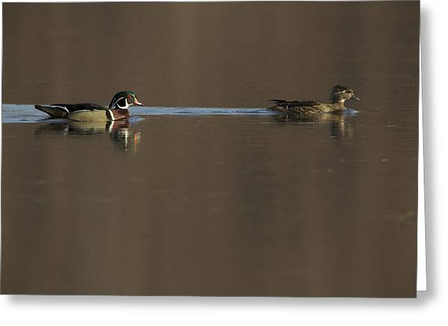A Wood Duck Aix Sponsa Pair Greeting Card by Tim Laman
