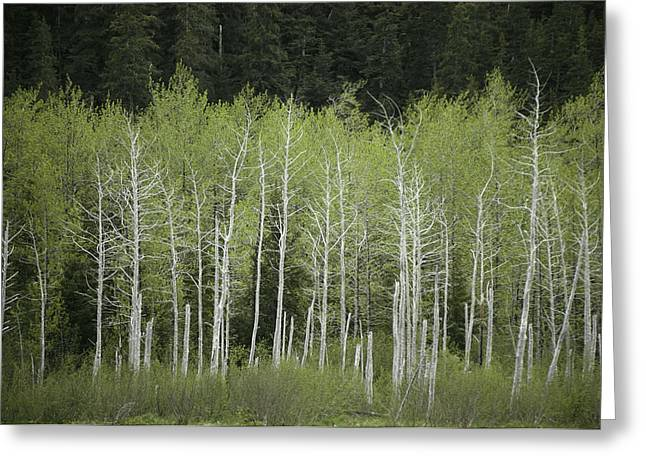 Woodland Scenes Greeting Cards - A Woodland View In Alaska Greeting Card by Klaus Nigge