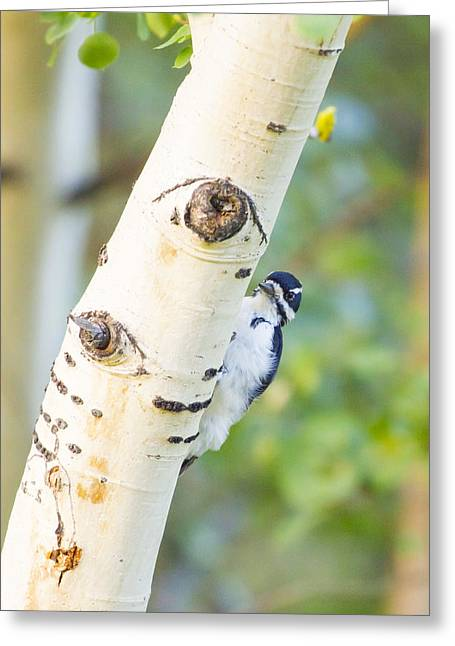 Wild Bird Greeting Cards - A woodpeck behind an eye of a tree Greeting Card by Ellie Teramoto