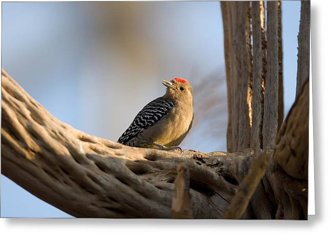 Desert Dome Greeting Cards - A Woodpecker Inside The Desert Dome Greeting Card by Joel Sartore