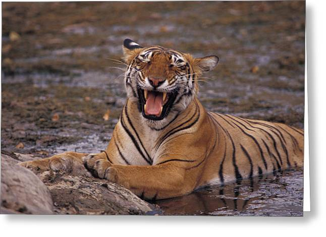 Mud Season Greeting Cards - A Yawning Bengal Tigress Wallows Greeting Card by Jason Edwards