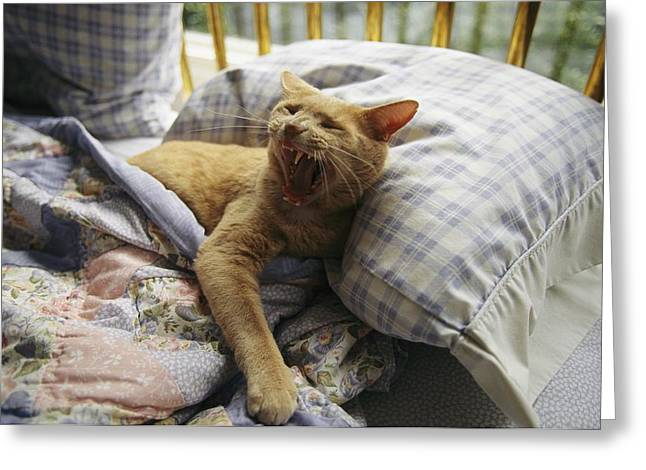 Roost Photographs Greeting Cards - A Yawning Cat Wakes From A Nap Greeting Card by Sisse Brimberg