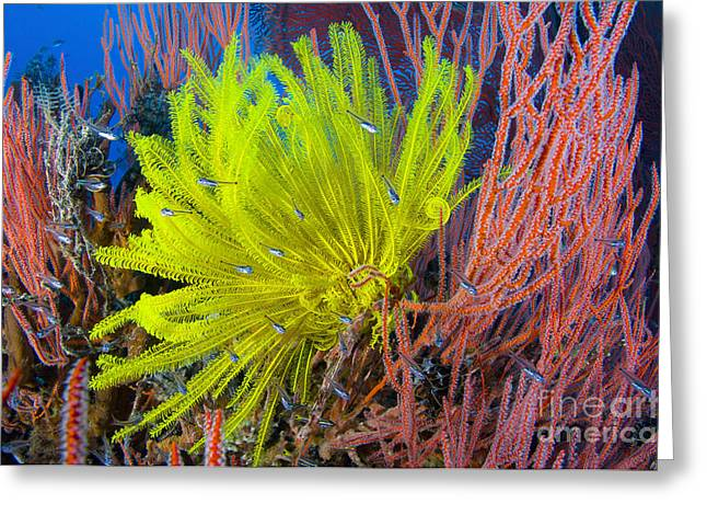 New Britain Greeting Cards - A Yellow Crinoid Feather Star Greeting Card by Steve Jones