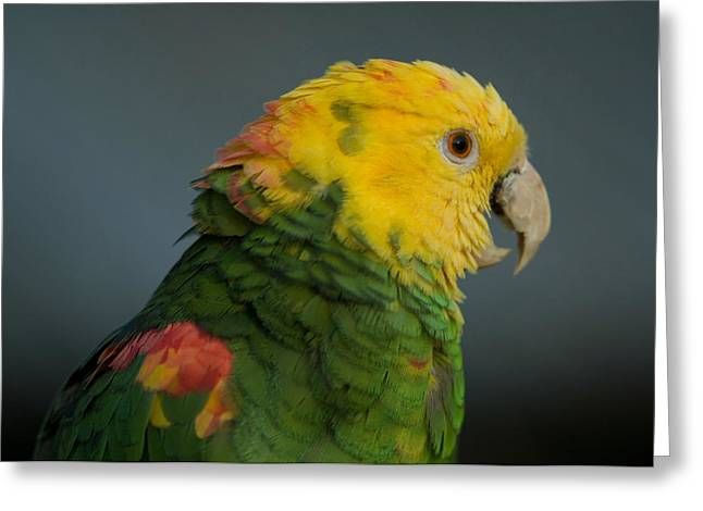 A Yellow-headed Amazon Parrots Amazona Greeting Card by Joel Sartore