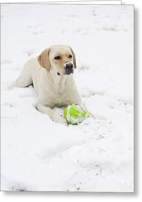 Arlington Greeting Cards - A Yellow Lab Lays In The Snow Greeting Card by Hannele Lahti