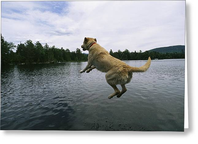 Dog In Lake Greeting Cards - A Yellow Labrador Retriever Jumps Greeting Card by Heather Perry