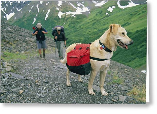 Knapsack Greeting Cards - A Yellow Labrador, Wearing A Backpack Greeting Card by Rich Reid