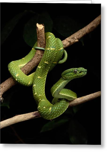 Yellow Line Greeting Cards - A Yellow-lined Palm Viper Bothriechis Greeting Card by George Grall
