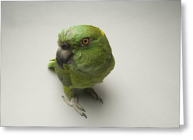 Amazon Parrot Greeting Cards - A Yellow-naped Amazon Parrot Greeting Card by Joel Sartore