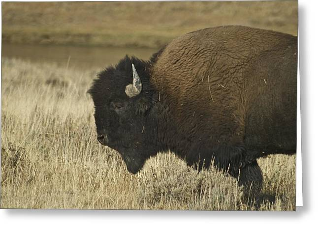 Prairie Heritage Site Greeting Cards - A Yellowstone Bison 9615 Greeting Card by Michael Peychich