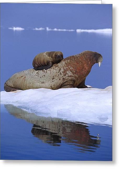 Bonding Greeting Cards - A Young Atlantic Walrus Odobenus Greeting Card by Paul Nicklen