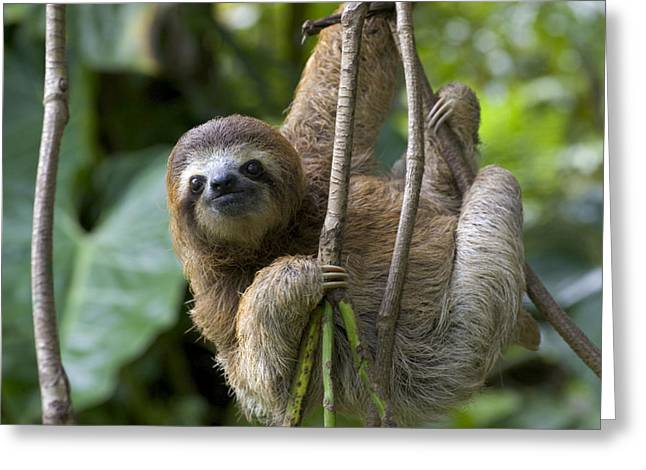 Sloth Greeting Cards - A Young Brown-throated Three-toed Sloth Greeting Card by Roy Toft