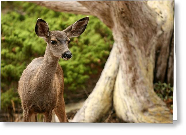 Best Sellers -  - Point Lobos Reserve Greeting Cards - A Young Deer In A Grove Of Rare Greeting Card by Charles Kogod