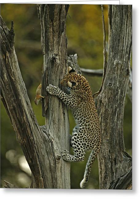 Leopard Hunting Greeting Cards - A Young Leopard Practices Her Hunting Greeting Card by Beverly Joubert
