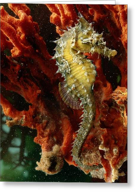 Sea Horse Greeting Cards - A Young Lined Sea Horse Hippocampus Greeting Card by George Grall