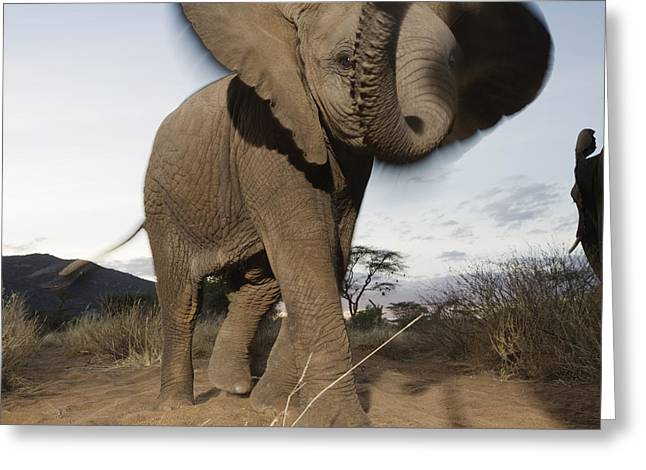 Remote Cameras And Remote Camera Traps Greeting Cards - A Young Male Elephant Plays Greeting Card by Michael Nichols