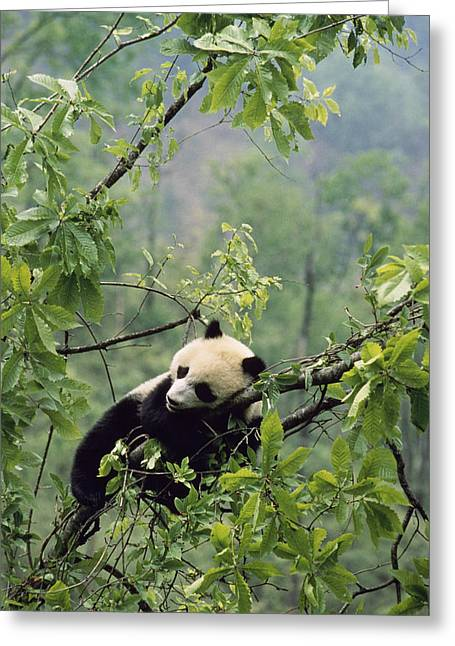 Shaanxi Province Greeting Cards - A Young Male Giant Panda, Ailuropoda Greeting Card by Lu Zhi