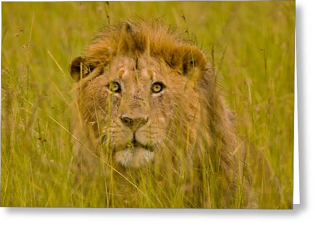 Cat Images Greeting Cards - A Young Male Lion In The Bush Greeting Card by Michael Melford