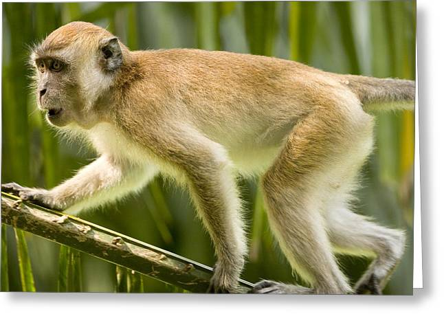Long Tail Greeting Cards - A Young Male Long-tailed Macaque Macaca Greeting Card by Tim Laman