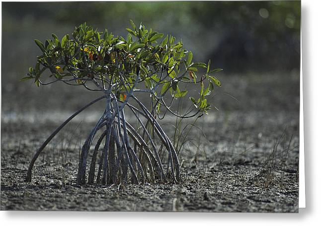 Tree Roots Greeting Cards - A Young Mangrove Tree Greeting Card by Klaus Nigge