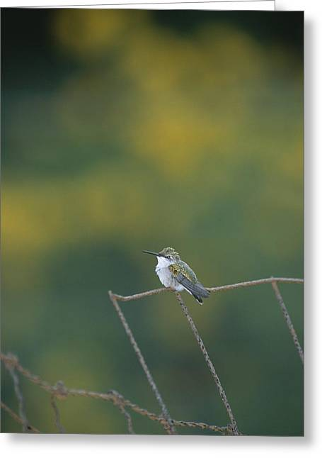 Park Scene Greeting Cards - A young ruby-throated Greeting Card by Taylor S. Kennedy