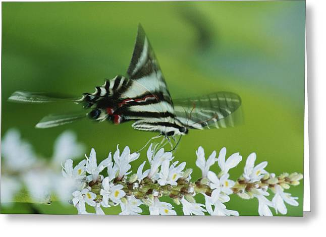Zebra Eating Greeting Cards - A Zebra Swallowtail Butterfly Sips Greeting Card by George Grall