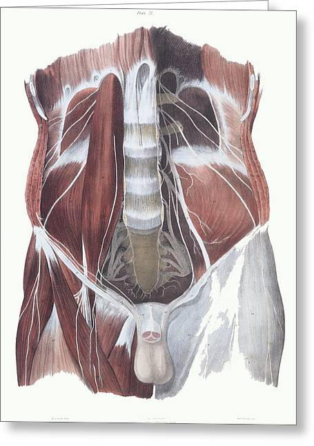 Lumbar Plexus Greeting Cards - Abdominal Spinal Nerves Greeting Card by Sheila Terry
