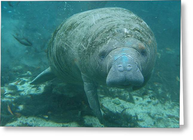 Manatee Springs Greeting Cards - About To Meet A Manatee Greeting Card by Kimberly Mohlenhoff