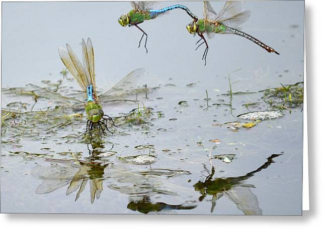 Green Darner Dragonflies Greeting Cards - Above And Below Greeting Card by Fraida Gutovich