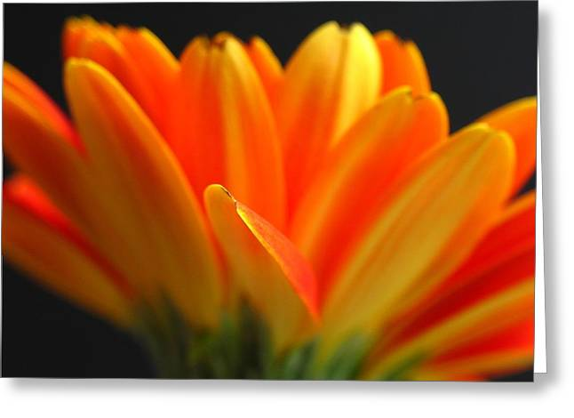 Close Up Floral Greeting Cards - Abstract Gerbera Petals Greeting Card by Juergen Roth