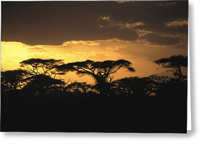 Sunset Scenes. Greeting Cards - Acacia Trees Silhouetted Greeting Card by Marc Moritsch
