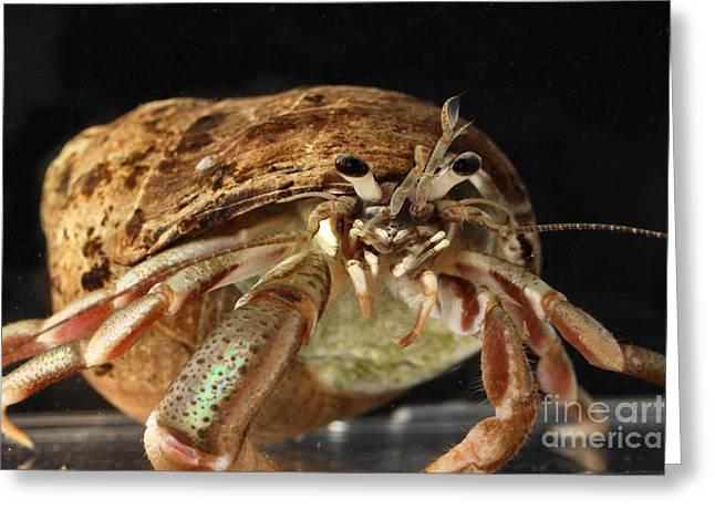 Acadian Greeting Cards - Acadian Hermit Crab Greeting Card by Ted Kinsman