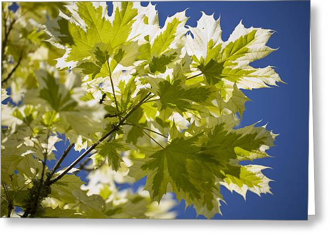 Dappled Light Greeting Cards - Acer Platanoides drummondii Greeting Card by Dr Keith Wheeler